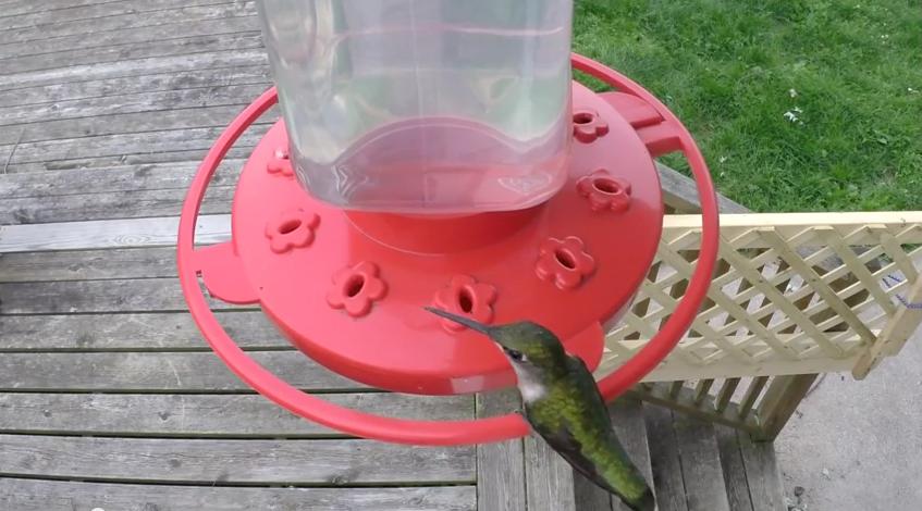 Green Hummingbird HD 60FPS Video