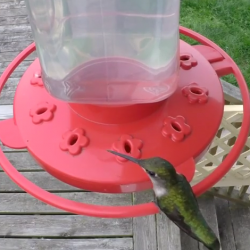 Green Hummingbird HD 60FPS Video